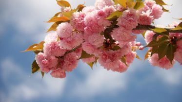 C:\Users\birk\Downloads\japanese-cherry-blossom-1347653_1920 (2).jpg