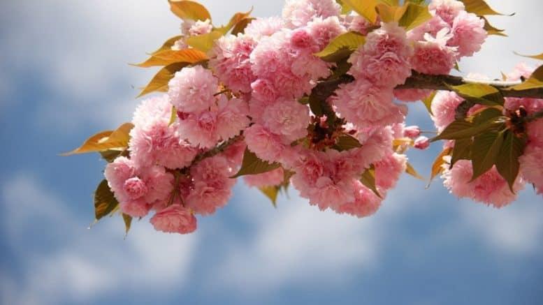 C:\Users\birk\Downloads\japanese-cherry-blossom-1347653_1920 (2).jpg